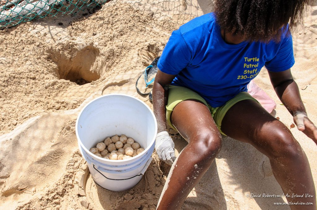 Collecting turtle eggs.