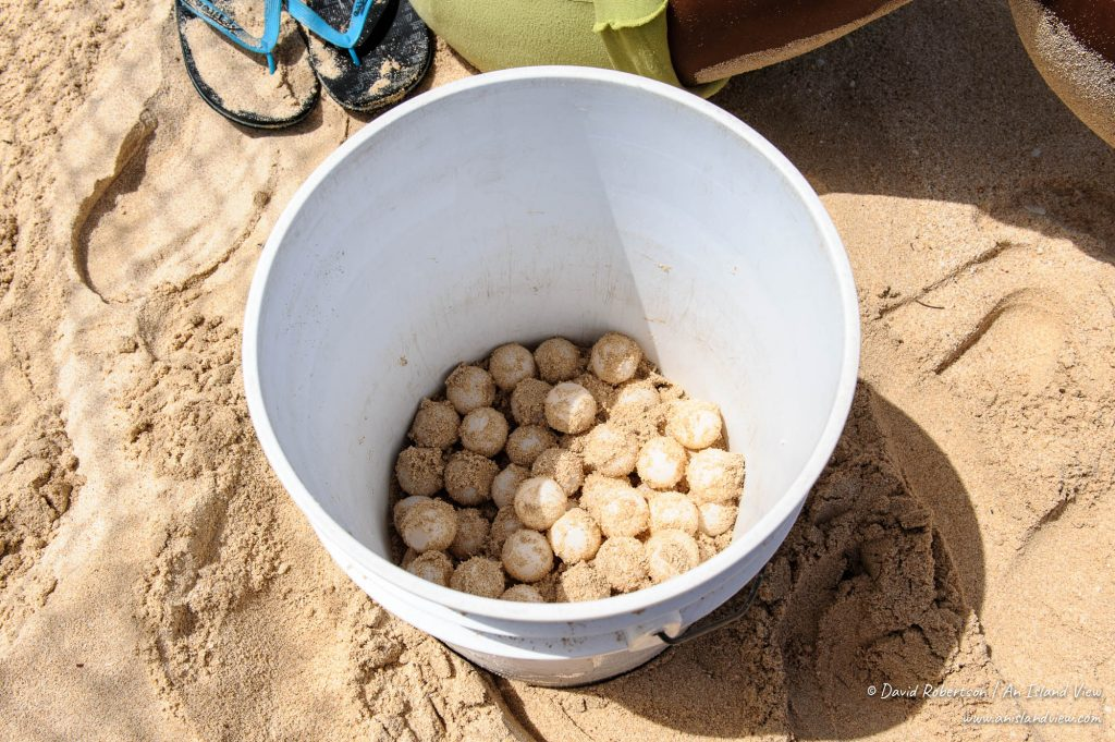 Turtle eggs in a bucket.