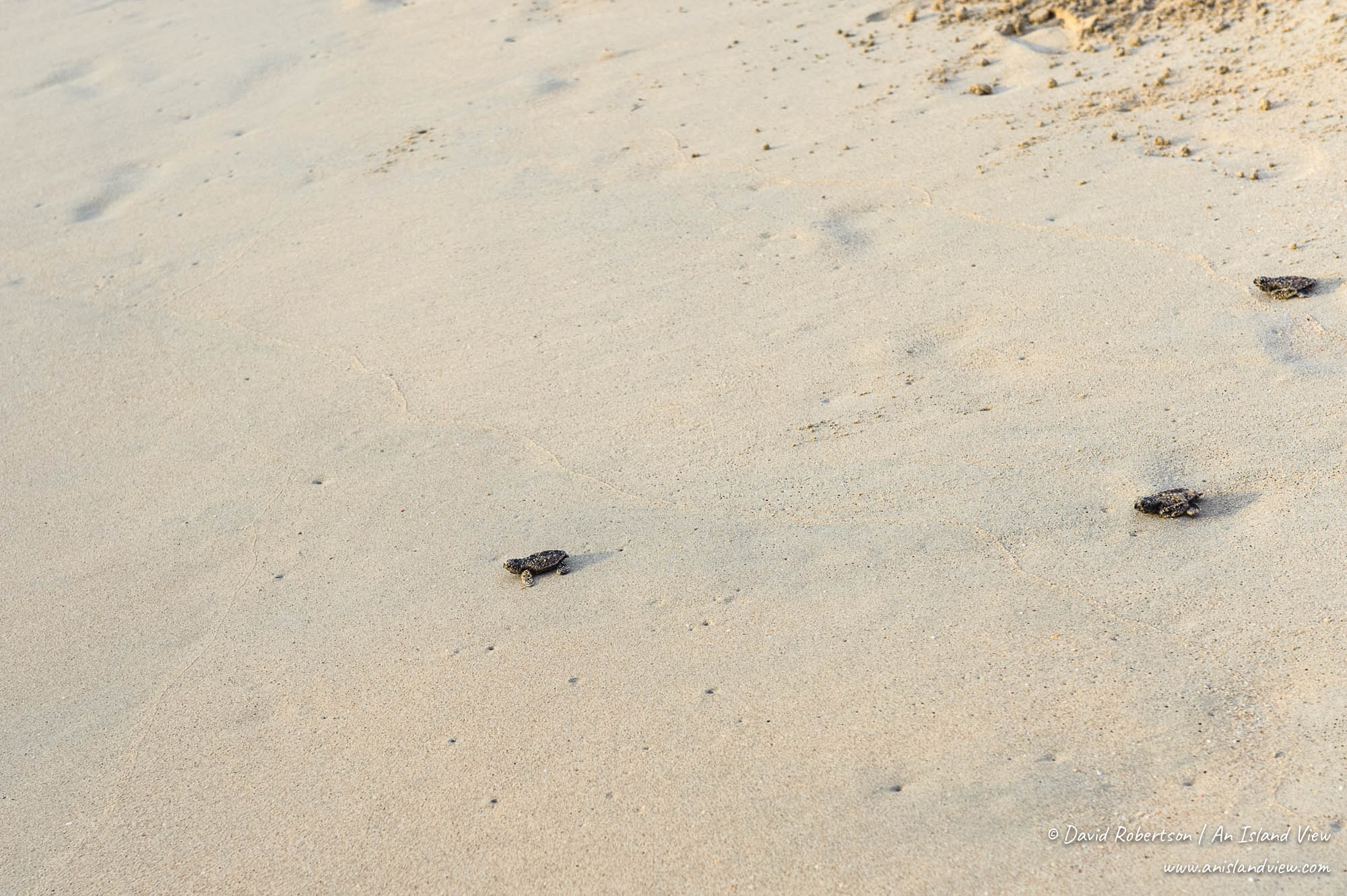 Turtle hatchlings crawling across the sand.