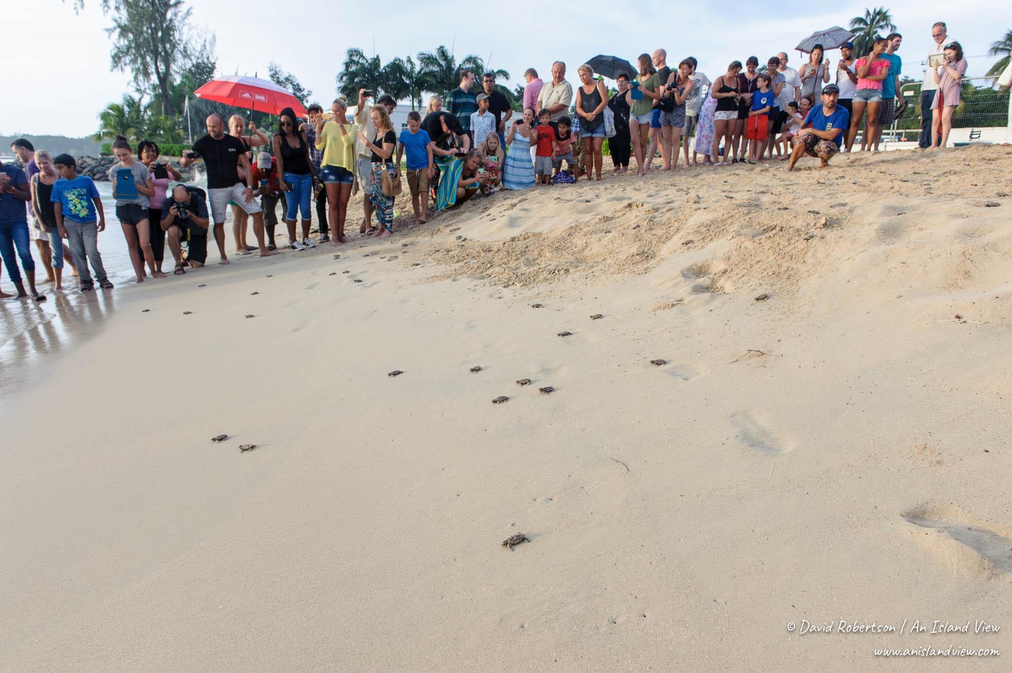 Turtle hatchling release in Barbados.